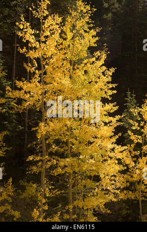 sunlit aspen against the backdrop of dark conifers - Stock Photo