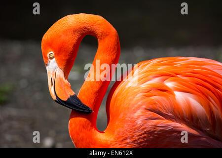American Flamingo - Stock Photo