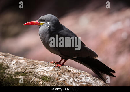 Inca tern perched on a tree. - Stock Photo