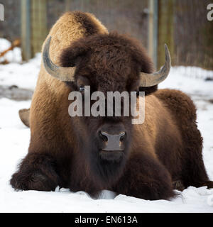 American bison sitting in snow - Stock Photo