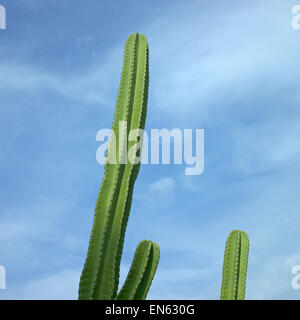 Large green cactus against the blue sky - Stock Photo