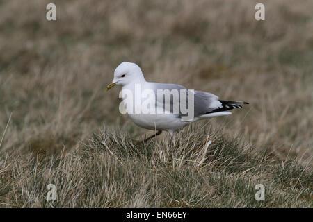 Common Gull walking on grass - Stock Photo