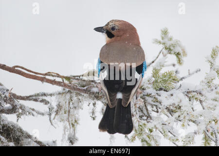 Eurasian jay sitting in snowy  spruce with back against camera and turning his head towards camera, Gällivare, Swedeish - Stock Photo
