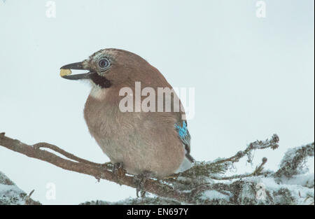 Eurasian jay sitting in a snowy spruce with a peanut in his beak, Gällivare, Swedish lapland - Stock Photo