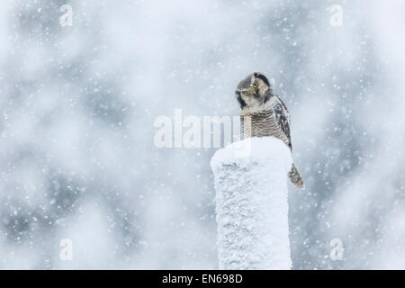 Northern Hawk-Owl, Surnia ulula, Sitting on a telephone pole in snow storm, looking into camera, Gällivare, Swden, - Stock Photo