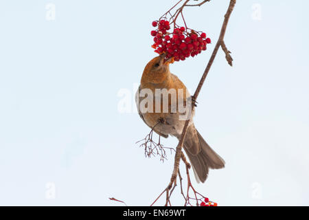 Female pine grosbeak, pinicola enucleator eating rowanberries - Stock Photo