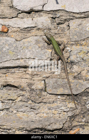 Wall lizard (Podarcis muralis). Adult male basking on a wall. The species is introduced to parts of the UK. - Stock Photo