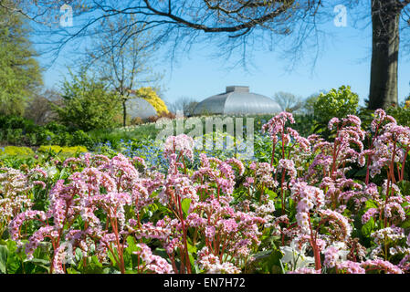 Bergenia Cordifolia with masses of pink flowers in spring sunshine at Sheffield botanical gardens, Yorkshire. - Stock Photo
