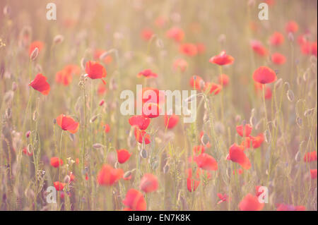 Red poppies with rose against the light, growing in the meadow. - Stock Photo