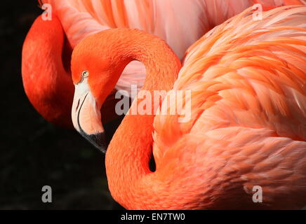 American or Caribbean flamingo ( Phoenicopterus ruber), closeup of the head, another one in the background - Stock Photo