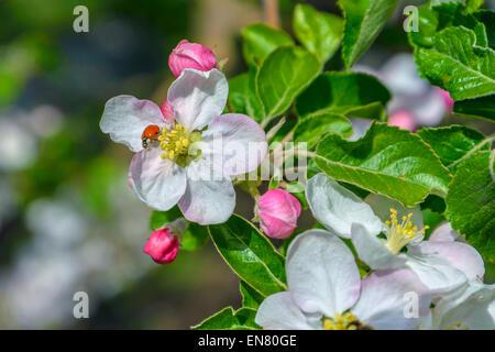 Ladybug sitting on a flower apple . - Stock Photo
