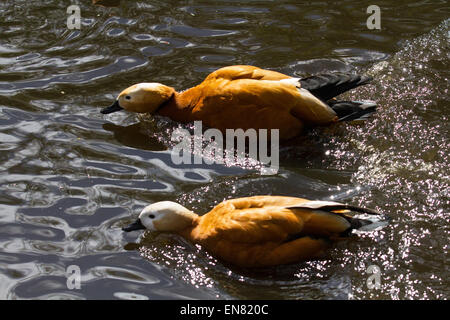 Martin Mere, Rufford, Burscough, Southport, Lancashire, UK 29th April, 2015. Pair of  Ruddy Shelduck Avian spring - Stock Photo