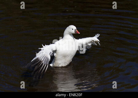Martin Mere, Rufford, Burscough, Southport, Lancashire, UK 29th April, 2015. Ross's Goose  Avian spring at the Martin - Stock Photo