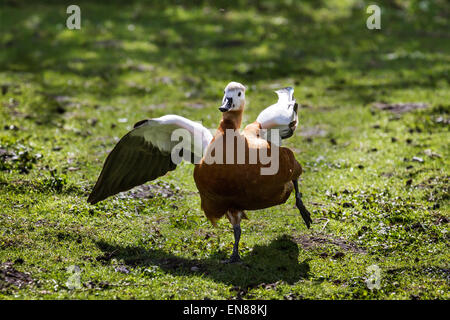 Martin Mere, Rufford, Burscough, Southport, Lancashire, UK 29th April, 2015. Running & Chasing Ruddy Shelduck in - Stock Photo