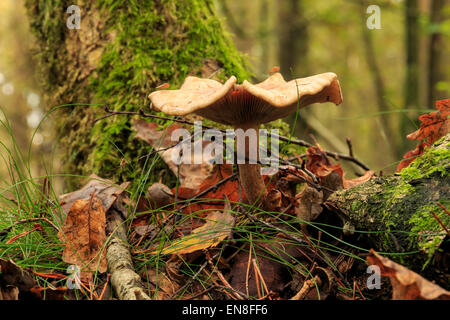 Close up of a single mushroom in a forest in Drenthe, The Netherlands. - Stock Photo