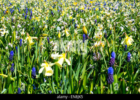 Spring meadow flowers, including wild tulips, wild daffodils and blue hyacinths in Amstelpark, Amsterdam, The Netherlands - Stock Photo