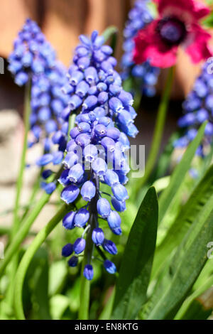 grape hyacinths muscari growing in a garden in the uk - Stock Photo