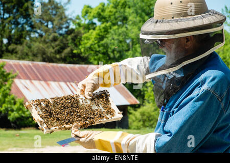 Beekeeper inspecting frames on a Langstroth honeybee hive on a farm in rural South Carolina. - Stock Photo