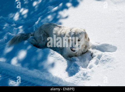 Platinum colored Golden Retriever dog playing on a snow covered mountain trail. - Stock Photo