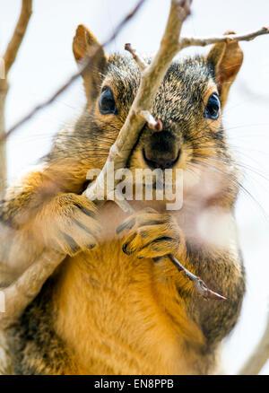 Fox Squirrel (Sciurus niger) in Aspen tree, Central Colorado, USA - Stock Photo