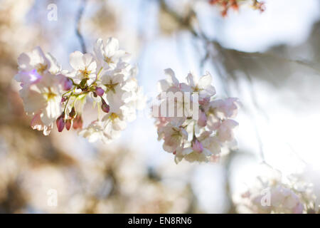 Looking up at pink and white cherry blossom flowers against the sky in the spring time. - Stock Photo