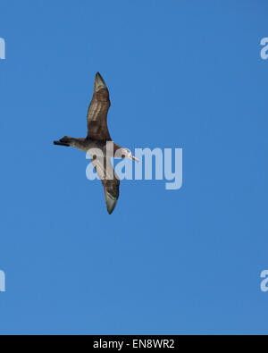Black-footed Albatross (Phoebastria nigripes) soaring - Stock Photo