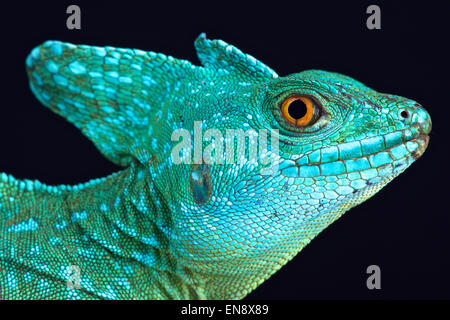 Plumed basilisk (Basiliscus plumifrons) - Stock Photo