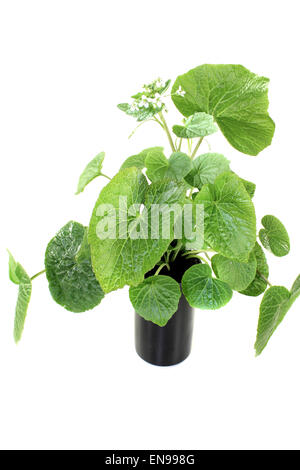 fresh green wasabi leaves with blossoms on a bright background - Stock Photo