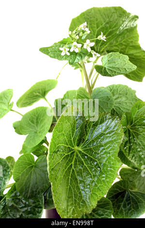 fresh wasabi leaves with blossoms on a bright background - Stock Photo