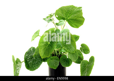 fresh green wasabi leaves with white blossoms on a bright background - Stock Photo