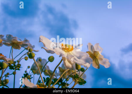 Japanese anemone touching sky - Stock Photo