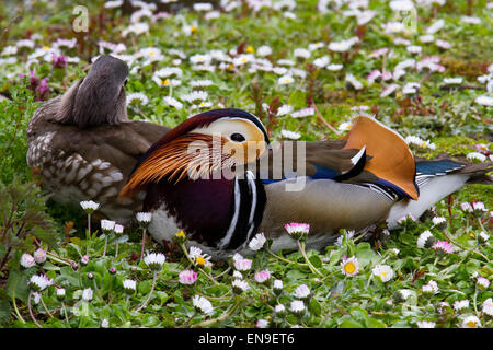 Multi-coloured duck at Martin Mere, Rufford, Burscough, Southport, Lancashire, UK 29th April, 2015. Sleeping pair - Stock Photo