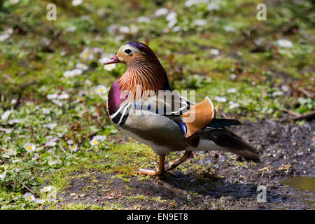 Multi-coloured duck at Martin Mere, Rufford, Burscough, Southport, Lancashire, UK 29th April, 2015. Male Mandarin - Stock Photo