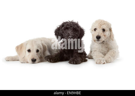 Two white and one black puppy on white background - Stock Photo