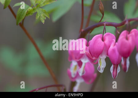 Dicentra spectabilis bleeding heart plant - Stock Photo