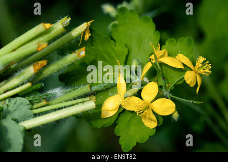 Greater celandine, tetterwort Chelidonium majus in flower - Stock Photo