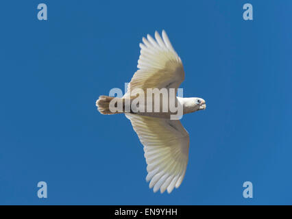 Little Corella (Cacatua pastinator), Western Australia - Stock Photo