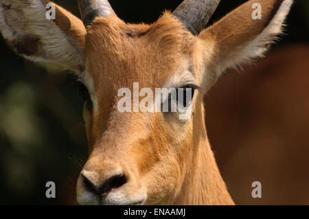 Close up of young male impala in Akagera National Park. Rwanda, Africa. - Stock Photo