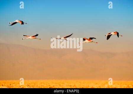 Andean Flamingos in flight (Phoenicoparrus andinus), Phoenicopteridae family, Laguna de Chaxa, Atacama desert, Chile - Stock Photo
