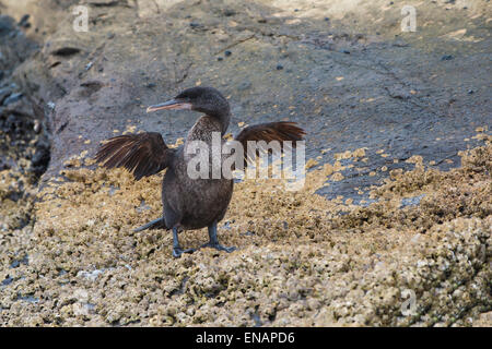 Galapagos Flightless Cormorant (Nannopterum harrisi), Tagus Cove, Isabela Island, Galapagos, Ecuador - Stock Photo