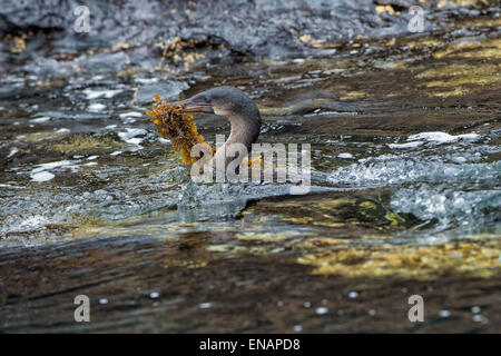 Galapagos Flightless Cormorant (Nannopterum harrisi) swimming in the water with nesting materials in the beak, Galapagos - Stock Photo