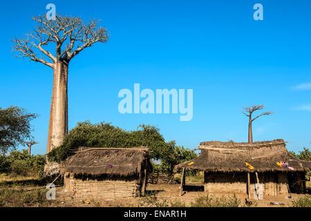 Baobab tree (Adansonia Grandidieri) and traditional thatched houses, Toliara province, Madagascar