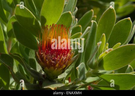 Protea leucospermum oleifolium. Tufted pincushion. Kirstenbosch national botanical garden. Cape Town. South Africa - Stock Photo