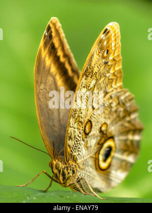 The Forest Giant Owl Caligo eurilochus is an owl butterfly tribe Brassolini of nymphalid subfamily Morphinae. - Stock Photo