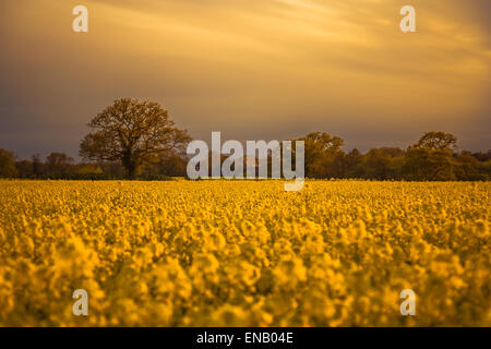 An evening in the rapeseed field - Looking across the field towards the farmhouse - Stock Photo