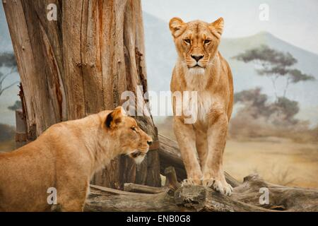 Lionesses outside next to a tree trunk in daylight in Africa - Stock Photo