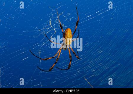 golden orb-web spider, nephila clavipes - Stock Photo