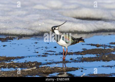 vanellus vanellus, northern lapwing - Stock Photo