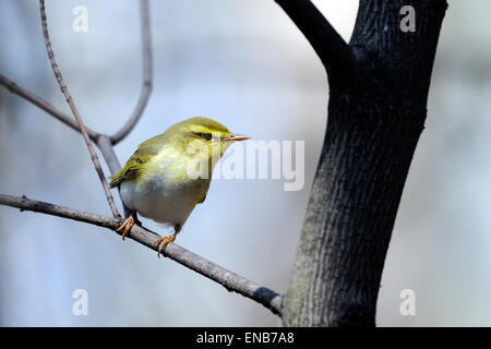 Wood Warbler (Phylloscopus sibilatrix) in Spring Forest - Stock Photo