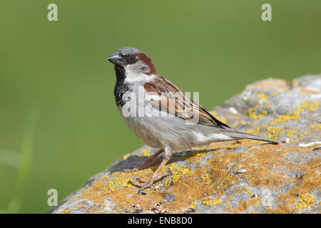 Adult Male House Sparrow, passer domesticus, perched on colourful rock with subdued green background in summer plumage, - Stock Photo